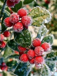 Fated To Love Nature Ice Crystals, Winter Scenery, White Christmas, Christmas Berries, Winter Berries, Christmas Wreaths, Four Seasons, Holly Berries, Herbst Winter
