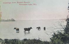 Cows in Pewaukee Lake at Roese's Pewaukee Lake, Lakeside Resort, Local History, Cows, Moose Art, Animals, Animales, Animaux, Animal