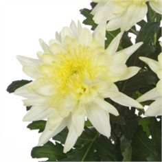 Chrysanthemum Blooms Zembla Cream are a cream, disbudded, single headed cut flower variety. 70cm tall & wholesaled in 10 stem wraps.