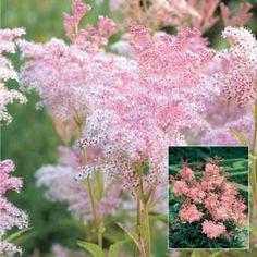 Queen of the Prairie, Sun Perennial Flowers, Sun Loving Perennials, Sun Plants, . Queen of the Pra Bog Garden, Prairie Garden, Garden Shrubs, Shade Garden, Amazing Flowers, Pink Flowers, Beautiful Flowers, Pink Garden, Summer Garden