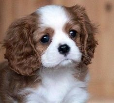 Things we love about the Energetic Cavalier King Charles Spaniel Puppies Puppies And Kitties, Cute Puppies, Cute Dogs, Doggies, Puppies Puppies, Fluffy Animals, Cute Baby Animals, Cavalier King Charles Spaniel, King Spaniel