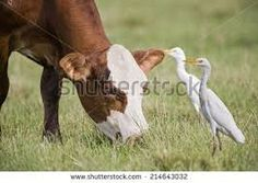 Image result for Cattle egret and cow
