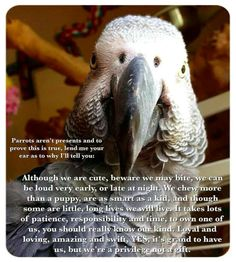 African Parrot Grey health diet personality intelligence training and care Parrot Pet, Parrot Toys, Pretty Birds, Beautiful Birds, Parrot Quotes, Bird Quotes, Talking Parrots, Funny Parrots, African Grey Parrot