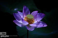 Lotus - Pinned by Mak Khalaf Fine Art flowergrassgreenpinkplantsummerwateryellow by office-primer