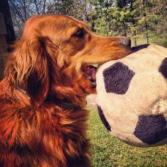 Kodis favorite toy. #golden #retriever #goldenretriever #dog #katanddog #redgolden #redretriever