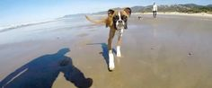 Two-Legged Boxer Dog's First Beach Trip Is Jealousy-Inducing Fun In The Sun. So beautiful, so happy.