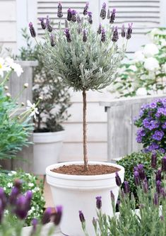 Crushing On Lavender Topiaries. Tips and Inspiration for Prettily Potted Lavender Lavender topiaries The post Crushing On Lavender Topiaries. Tips and Inspiration for Prettily Potted Lavender appeared first on Outdoor Ideas. Topiary Plants, Topiary Trees, Potted Trees, Topiary Garden, Potted Lavender, Indoor Lavender Plant, Lavender Planters, Spanish Lavender, Patio Trees