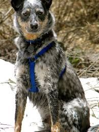 Image result for border collie heeler mix