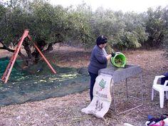 #Olive #Harvest #Kythira #Greece