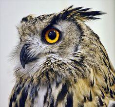 eagle owl, Beautiful!!