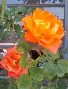 PÉTALAS CRISTALIZADAS Diz a mitologia grega que, quando os deuses passaram a governar o mundo, as divindades concederam à Terra a graça de ter muitos animais, muitas plantas e muitas flores. Cada um desses presentes da natureza obteve de um deus ou de uma deusa preferência e proteção. Na partilha, Afrodite, a deusa do amor, escolheu para …