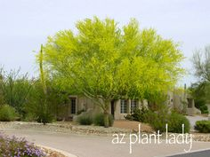 I had never seen the Palo Verde tree, with beautiful green bark, before coming west. Organic Fertilizer, Organic Gardening, Desert Gardening, Desert Trees, Drought Tolerant Landscape, Drought Resistant Plants, Garden Shrubs, Garden Plants, Sky Full