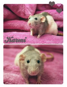Always liked pet rats...they can be so cute and friendly