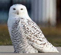 A snowy Owl spotted in Milw - Mild weather brings bevy of exotic bird species Owl Photos, Owl Pictures, Most Beautiful Animals, Beautiful Birds, Owl Bird, Pet Birds, Chicken Bird, Snowy Owl, Cute Owl