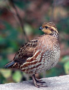 the sound of the bob white - another comforting sound in the evenings Bob White, female Pretty Birds, Beautiful Birds, Game Birds, Birds 2, Raising Quail, Draw On Photos, Exotic Birds, Patterns In Nature, Livestock