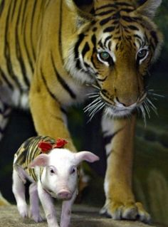 SAIMAI AND HER PIGLETS    Like mother, like daughter. Saimai the tiger, who was raised by a sow, is now caring for her own group of pigs at a Shanghai zoo. Zookeepers say it is common at the facility to let tigers raise pigs and vice versa.It's a little unusual to us, but too  cute to argue with.