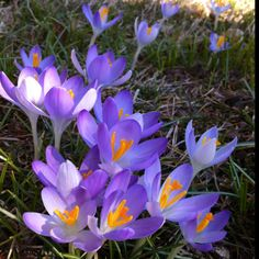 Spring crocuses growing in a lawn.
