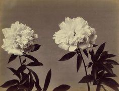 'Peonies' Unknown, c. 1890-99.