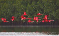 petitpoulailler:    美洲红鹮 Scarlet Ibis [Eudocimus ruber] by wanghc732 via Flickr