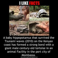 http://www.snopes.com/photos/animals/hippo.asp  #stunning #interesting #facts #hippo #animals