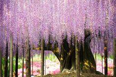 Fica no Ashikaga Flower Park, em Tochigi, e é conhecida assim mesmo, como a glicínia (uma trepadeira que dá umas flores lindas) mais bonita do mundo. Se é a mais bonita do planeta, não sabemos, mas ela é a maior e mais antiga dessa espécie no Japão e a principal atração turística do parque. Tem 143 anos e parece um guarda-chuva em forma de flor.