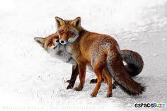 Découvrez la beauté du renard à travers 10 photos incroyables!