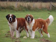 Lil' Dog Whisperer: From Hero to Beethoven~ The Saint Bernard Big Dogs, Large Dogs, I Love Dogs, Dogs And Puppies, Doggies, Chien Saint Bernard, St Bernard Puppy, Cute Dogs Breeds, Dog Breeds