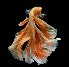 Some interesting betta fish facts. Betta fish are small fresh water fish that are part of the Osphronemidae family. Betta fish come in about 65 species too! Colorful Fish, Tropical Fish, Beautiful Creatures, Animals Beautiful, Animals And Pets, Cute Animals, Beta Fish, Fish Fish, Siamese Fighting Fish