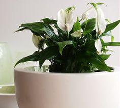 Groen = Gezond met Luchtzuiverende Kamerplanten als de Lepelplant - MEER Planten... (Foto Luchtzuiverende Plant Lepelplant BBH  op DroomHome...