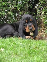 Black Tan Coonhounds Nzkc Reg D Bluetickbeagle Cute Funny