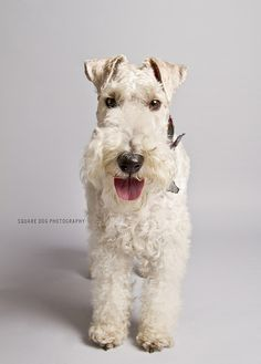 Fox Terrier by Charlie the Cheeky Monkey, via Flickr