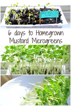 Homegrown Mustard Microgreens - The complete guide. Mustard, Beets, Fenugreek, Cilantro and more!!!
