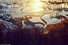 Beautiful: Sunlight reflects off the surface of hundreds of flooded rice paddies on terraces in Yuanyang county of Yunnan Province, China