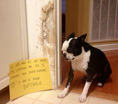 Dog shaming, Boston Terrier