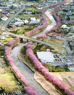 #河津桜 #静岡(Via:静岡の河津桜、既にこのレベルの見頃になっている)工エエェェ(´д`)ェェエエ工もう、こんなに咲いてるの!?そういう品種?樹木の移設にエアースコップ!