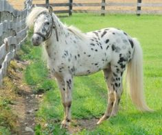 Appaloosa Stallion Full Circle Miniatures Offers for your consideration: TOYLAND BODERO AMHA, AMHR, PURE FALABELLA, BLACK LEOPARD STALLLION. Located in Abbottstown,PA Please visit Full Circle Miniatures at http://www.FullCircleMiniatures.com Sales promotion provided by Lil Beginnings Miniature Horses