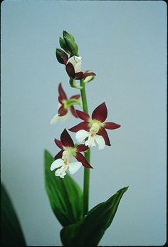 Discolor Hardy Orchid for sale buy Calanthe discolor