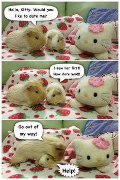 Guinea pigs fighting over Hello Kitty!
