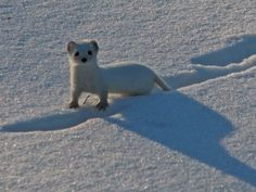 The least weasel's fur changes from brown to white during the winter to act as camouflage in the snow, making it easy to hide from predators and hunt for prey!  Photo: Winter least weasel courtesy of Marko Kivelӓ/Creative Commons.