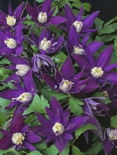 Clematis Macropetala Downy clematis is a hardy, deciduous early bloomer that can flourish in Zone 4. The species will climb to 10 feet with a little support, and it has bell-shaped, purple-blue, almost columbine-like flowers about 1 to 2 inches, sometimes up to 4 inches in diameter, that mature to fluffy, pinkish seed heads. Blooms appear in spring and early summer, sometimes followed by a second flush in late summer to early autumn.  Usually grown in sun but well suited to shade.