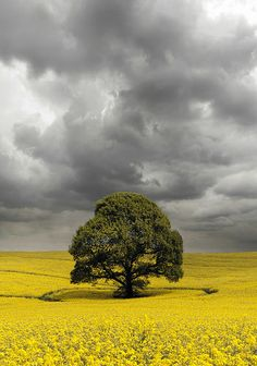 Tree in Oilseed on a Cloudy Day