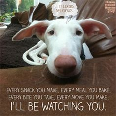 Podenco watching you