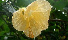 Hibisco na chuva