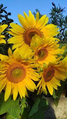 Flowers Nature, Beautiful Flowers, Sun Flowers, Sunflowers And Daisies, Sunflower Pictures, Sunflower Garden, Sunflower Wallpaper, Summer Plants, Landscaping Plants