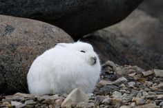 """Arctic Hare.  Also by """"The House and other Arctic Musings."""""""