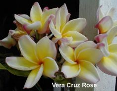 "Vera Cruz Rose  -  Picture Courtesy of Plumeria Hut Nursery.  Vera Cruz Rose AKA Lilyana, Lilliana. Yellow and pink rainbow in huge clusters of 30-50 large 3-4"" flowers. Delicious rose fragrance is very strong. Large 3.5 -4'' in huge clusters of 30-50 flowers per bunch. Rainbow swirls of red/rose on the edges of the petal, creamy yellow center. One of the most fragrant of all plumeria."
