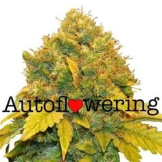 Perfect Image, Perfect Photo, Love Photos, Cool Pictures, Buy Weed Seeds, Autoflowering Seeds, Seed Bank, Seeds For Sale, Growing Seeds