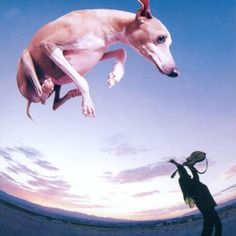 Leaping Italian Greyhound on cover of Flying Dog, and album by Paul Gilbert. (no IGs were harmed in the making of this album cover) Paul Gilbert, Primal Fear, Flying Dog, Dog Day Afternoon, Best Guitar Players, Raining Cats And Dogs, Italian Greyhound, Album Covers, Cool Things To Buy
