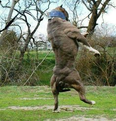 images about The biggest muscle in a pitbull is it's heart! Cane Corso, Beautiful Dogs, Animals Beautiful, Pet Dogs, Dogs And Puppies, Funny Puppies, Huge Dogs, Bully Dog, Dog Games