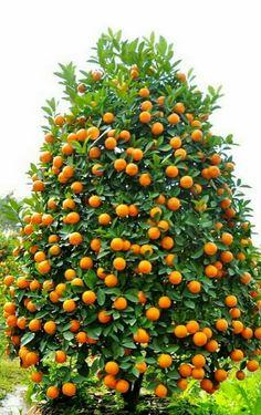 Que linda árvore frutífera! - Margarete Varella - Google+